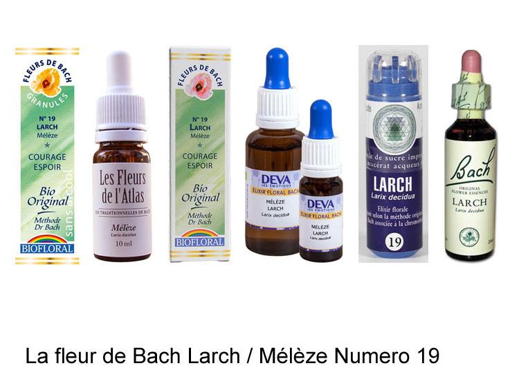 La fleur de Bach Mélèze ou Larch