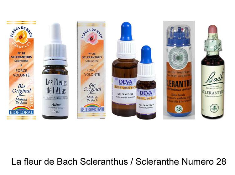 La fleur de Bach Scleranthe ou Scleranthus